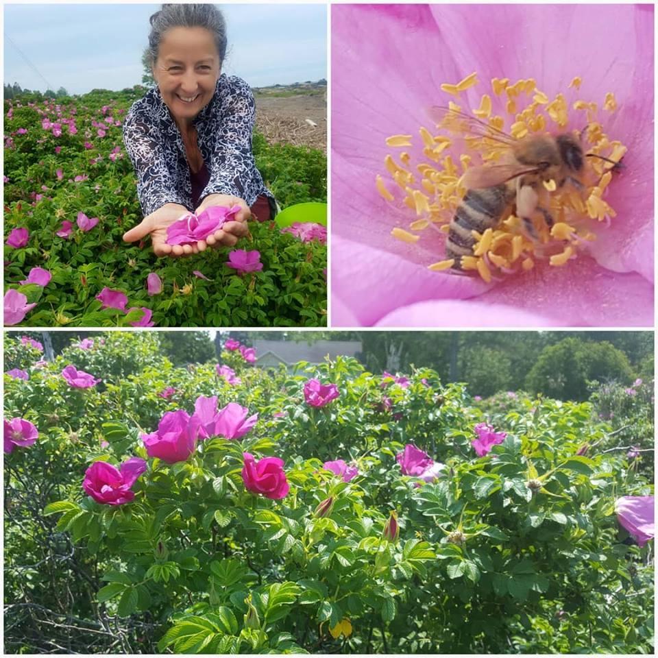 roses-Forets_et_Papilles